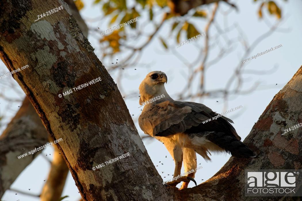 Imagen: Immature Harpy Eagle (Harpia harpyia) aged 15 months, Amazon, Brazil.