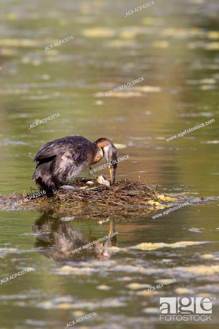 Stock Photo: Red-necked grebe Podiceps grisegena, turning eggs in nest, Logan Lake, British Columbia, Canada.