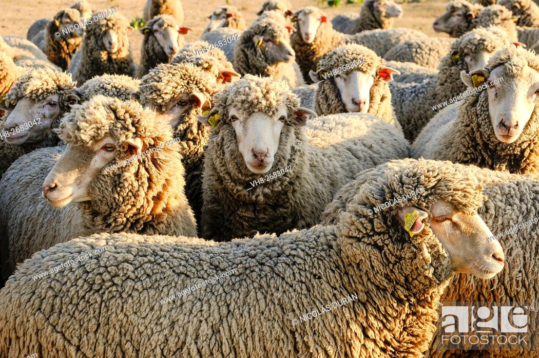 Stock Photo: Flock of merino sheep. Sierra de San Pedro. San Vicente de Alcantara. Province of Badajoz. Extremadura. Spain.