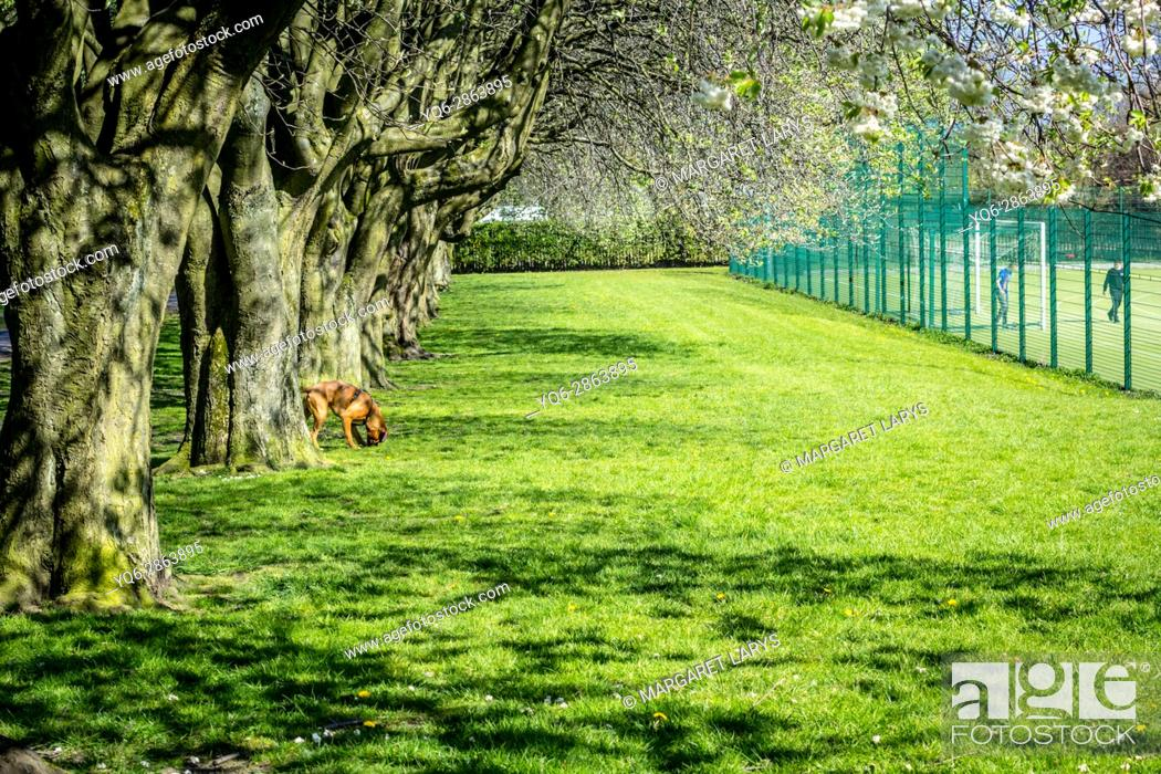 Stock Photo: Dunbeth Park in Coatdyke, North Lanakrshire, Scotland, United Kingdom. Beautiful morning in the Spring, an alley of old, tall blooming trees in the morning.