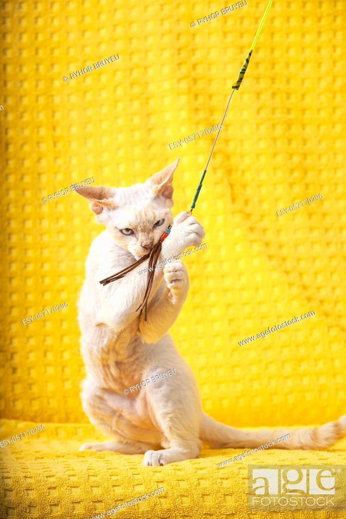 Stock Photo: White Devon Rex Kitten Kitty Playing With Feather Toy. Short-haired Cat Of English Breed On Yellow Plaid Background. Shorthair Pet Cat.