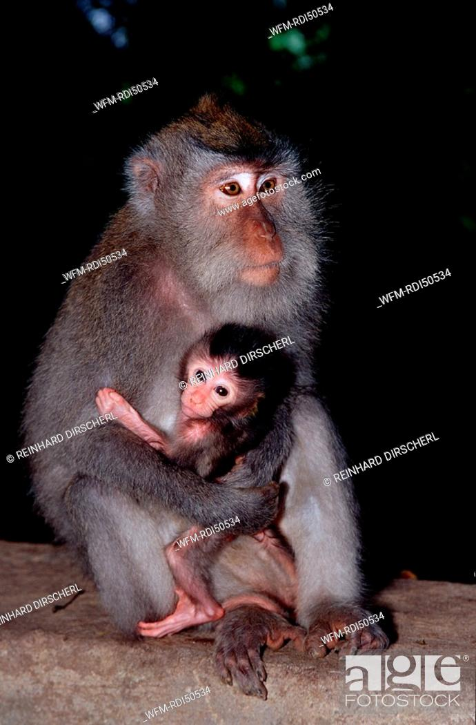 Java Monkey With Baby Macaca Fasciularis Indian Ocean Bali