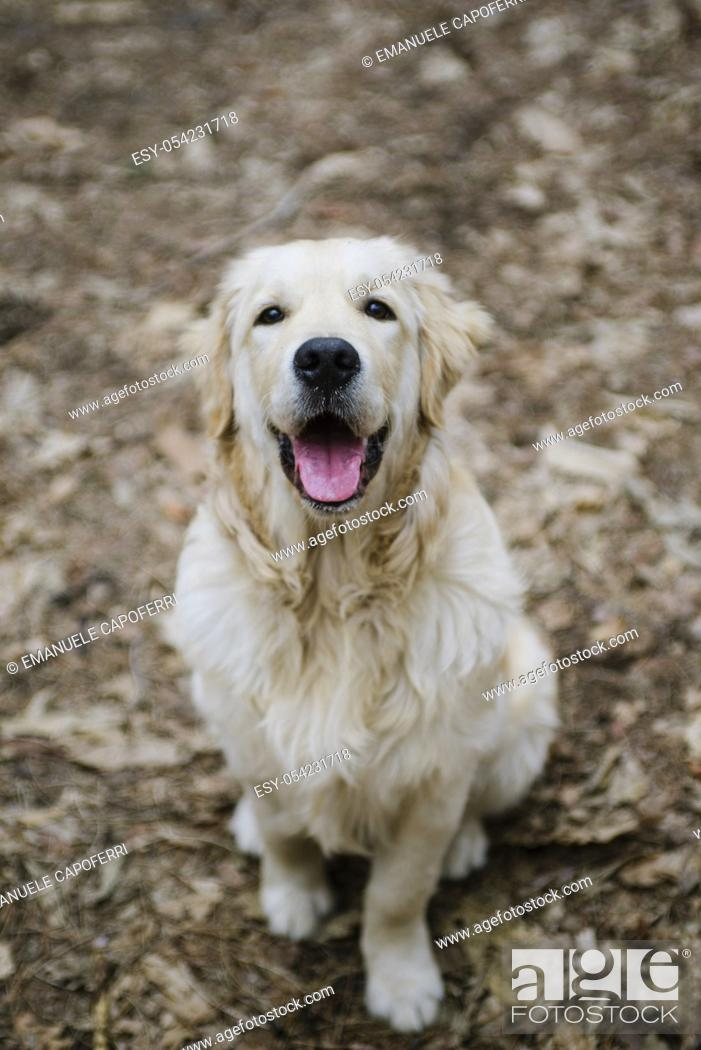 Stock Photo: portrait of dog golden retriever in the woods.