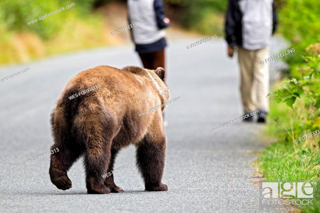 Stock Photo: USA, Alaska, Brown bear chasing tourist.