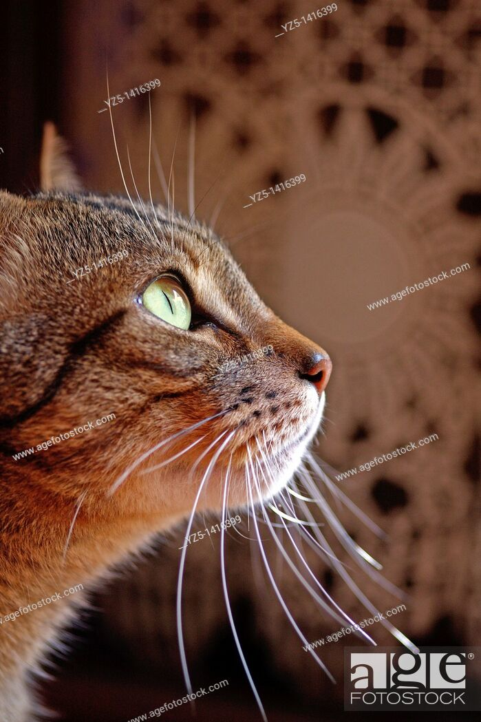 Stock Photo: The wait - Tabby cat is waiting for.