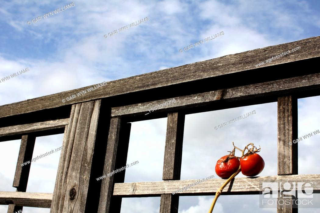 Stock Photo: two old tomatoes by garden fence with blue sky.