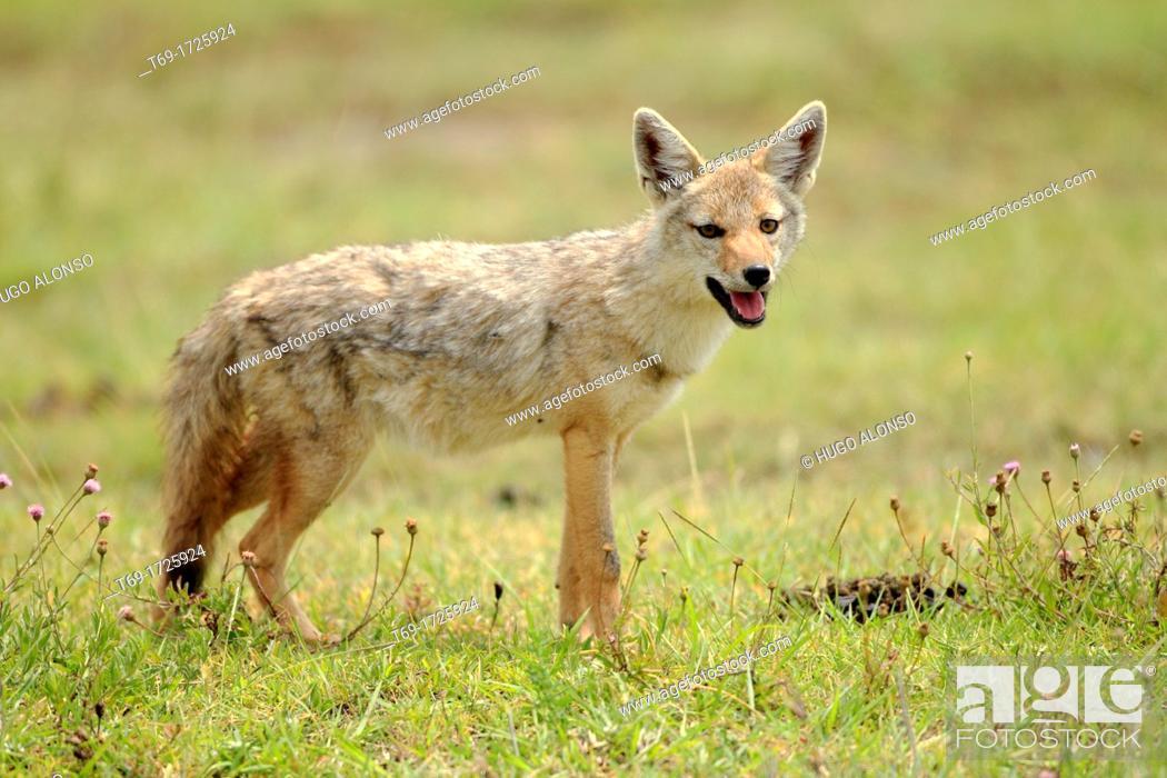 Stock Photo: Common or golden jackal Canis aureus.