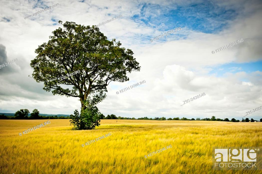Stock Photo: Late Summer evening with Harvest crop of Barley. Lone young beech tree stands in the field. Co Kildare, Ireland.