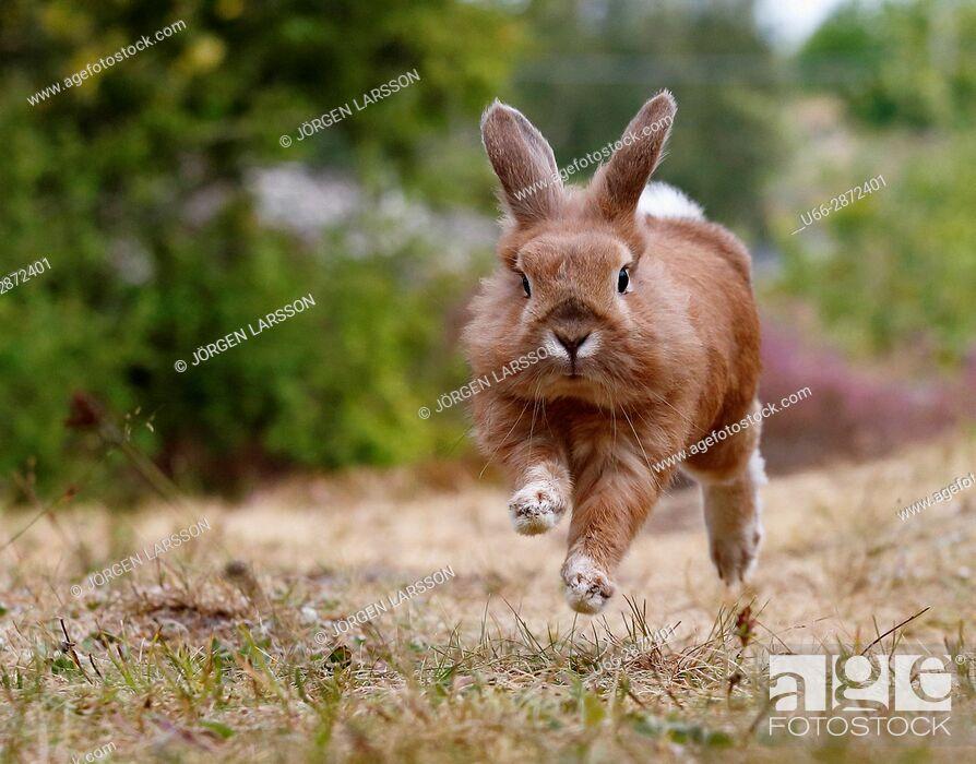 Stock Photo: European hare (Lepus europaeus) running through dry grass, Sweden.