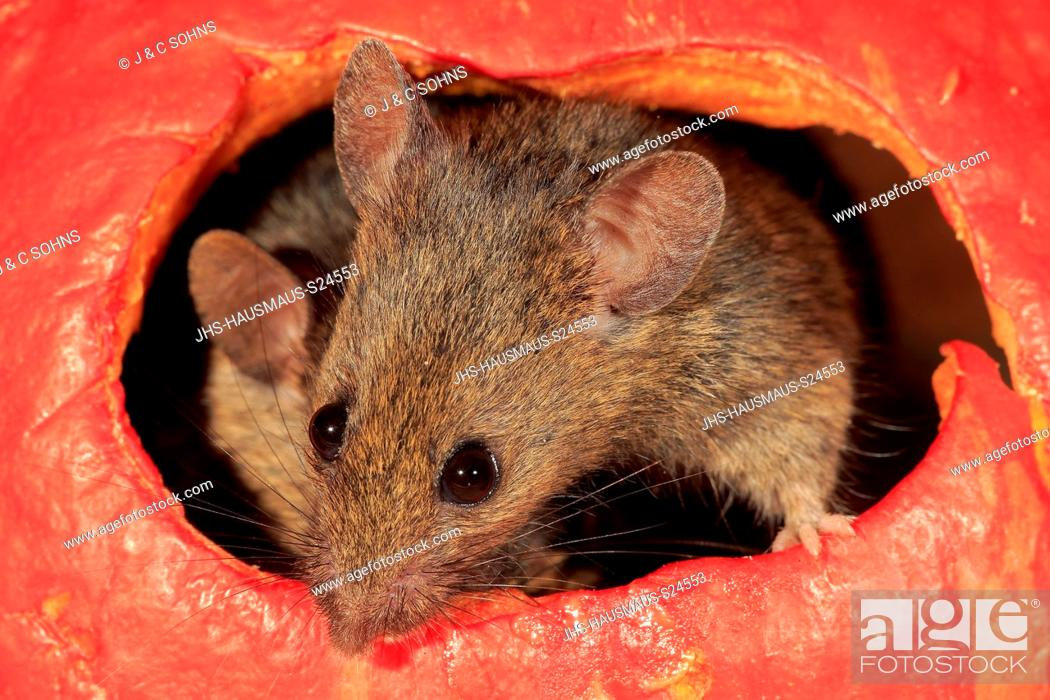 Stock Photo: House Mouse, (Mus musculus), two adult mice looking out of pumpkin, Ellerstadt, Rhineland Palatinate, Germany, Europe.
