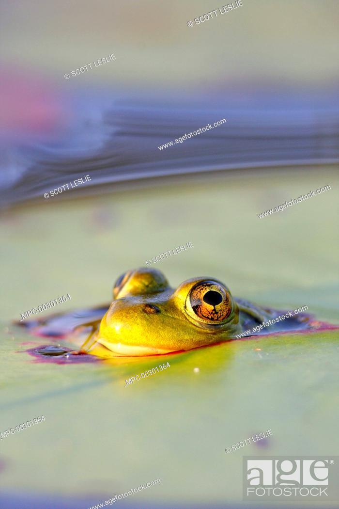 Stock Photo: Mink Frog (Rana septentrionalis) peeking through hole in lily pad, West Stoney Lake, Nova Scotia, Canada.