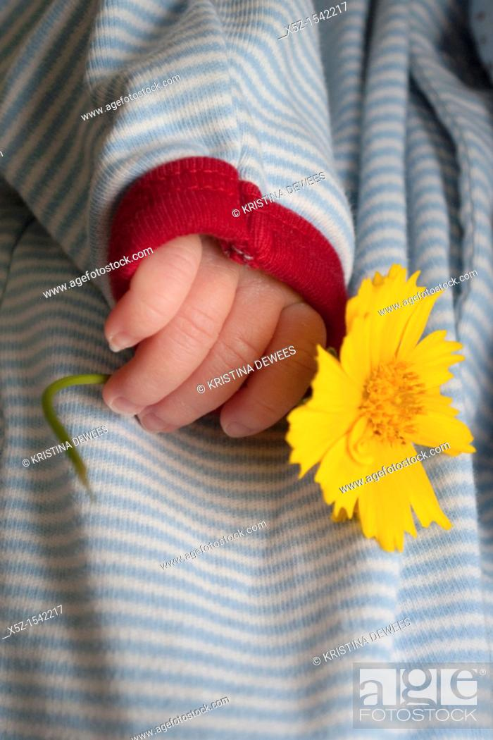 Stock Photo: The hand of a baby boy holding a Coreopsis flower.