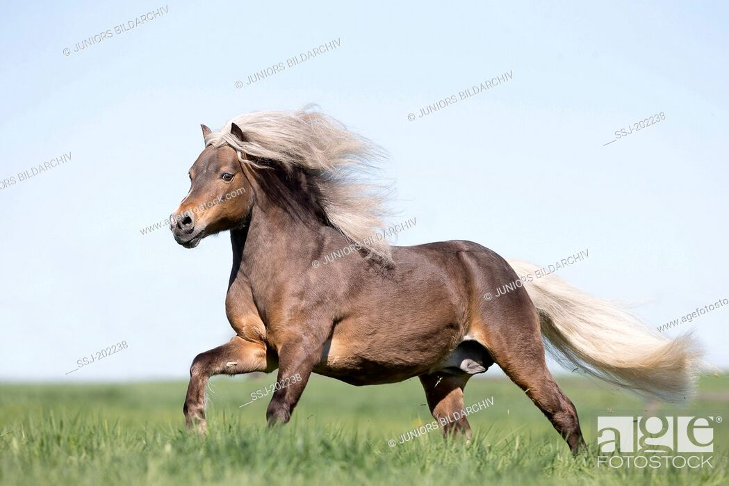 Imagen: German Classic Pony. Liver chestnut stallion galloping on a pasture. Germany.