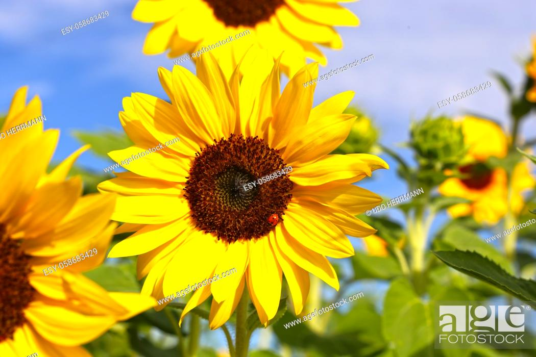 Stock Photo: Close up of a sunflower (Helianthus annuus).
