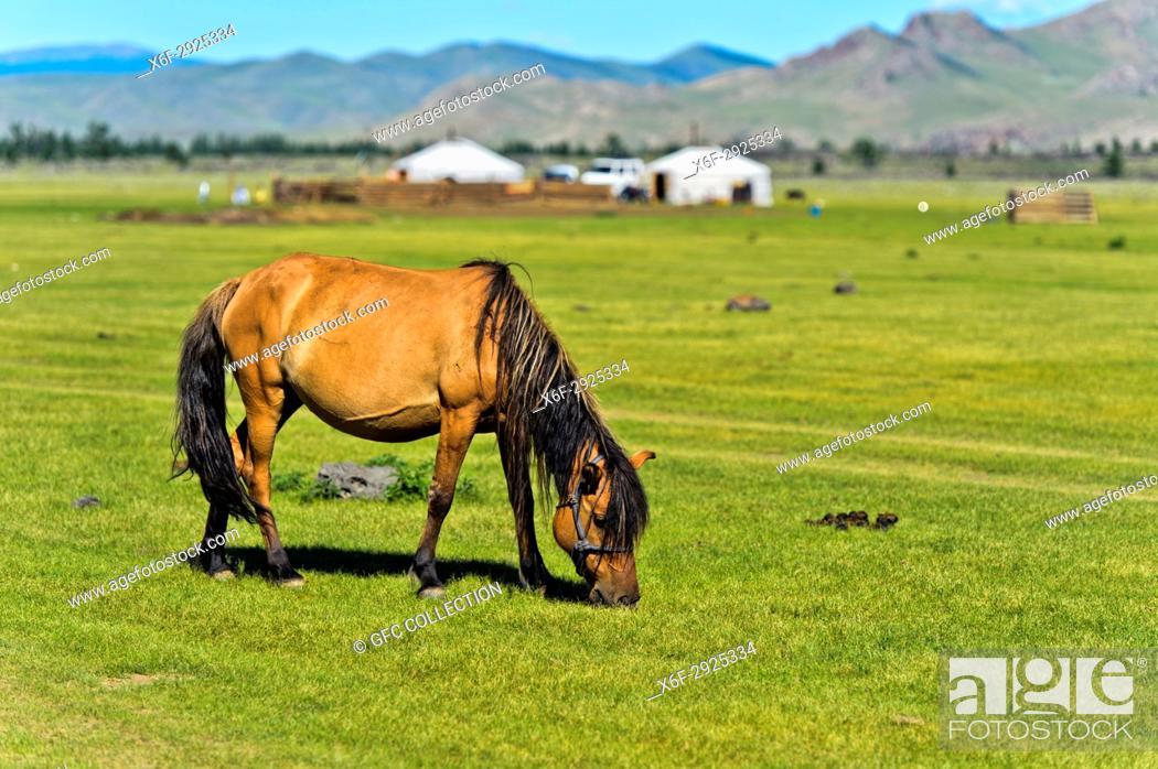 Photo de stock: Horse grazing on a pasture near yurts in the UNESCO World Heritage Site Orkhon Valley Cultural Landscape, Khangai Nuru Khangai Nuruu National Park.