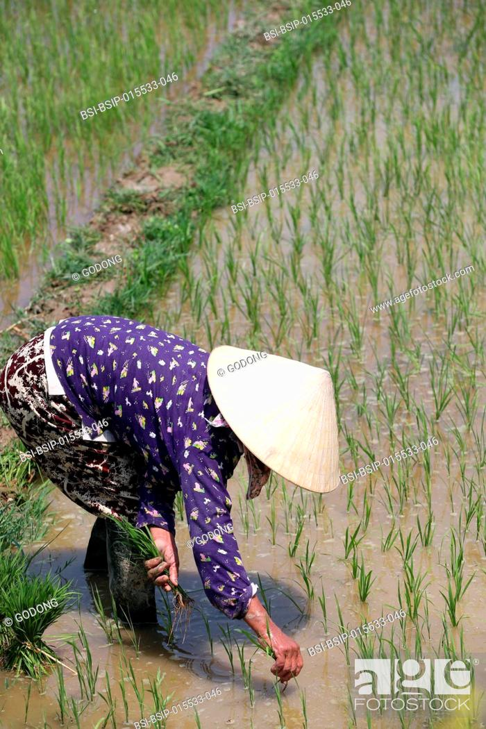 Stock Photo: Vietnamese farmer working in her rice field. Transplanting young rice. Hoi An. Vietnam.