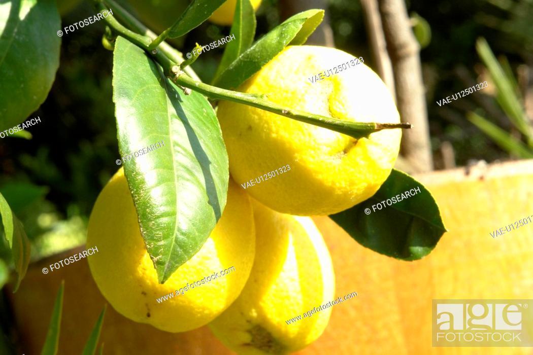 Stock Photo: felder, wiesen, berne, blooms, blumenrfarben, botany, citronen.