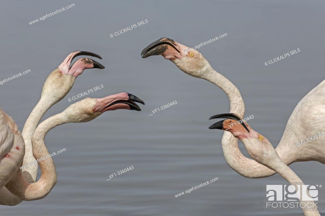 Stock Photo: Camargue, Provence, France, Europe. Flamingos of Camargue.