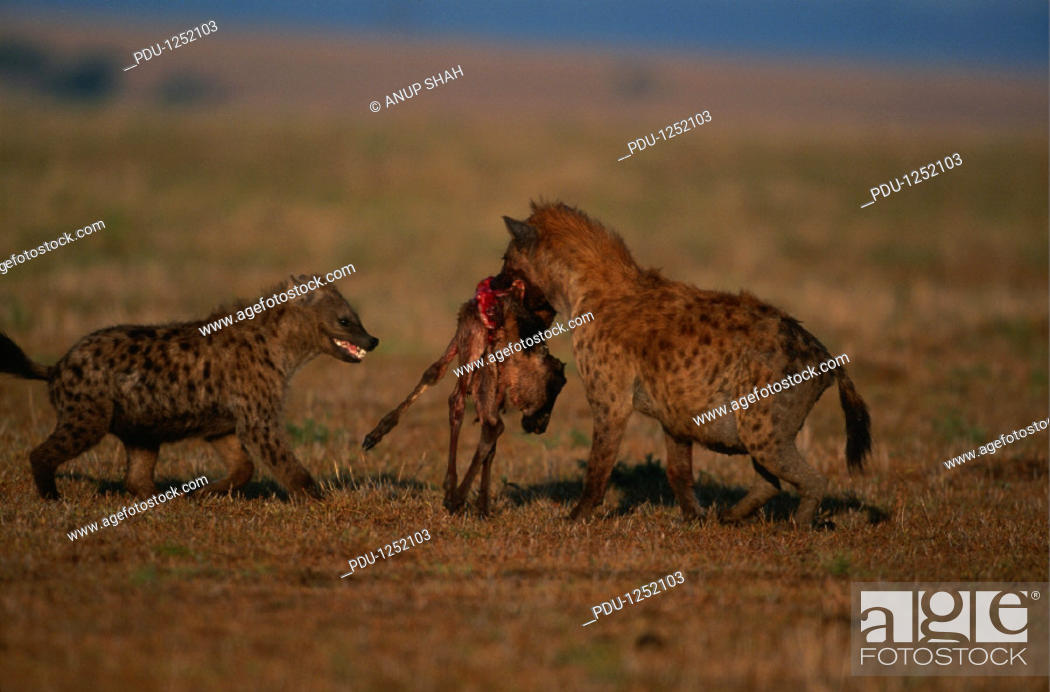 Stock Photo: Spotted hyenas (Crocuta crocuta) with prey, Masai Mara N.R, Kenya.