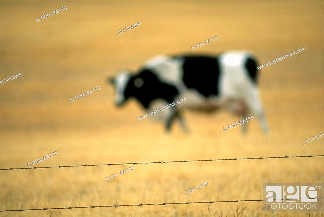 Stock Photo: Grazing Cow, Alberta, Canada.