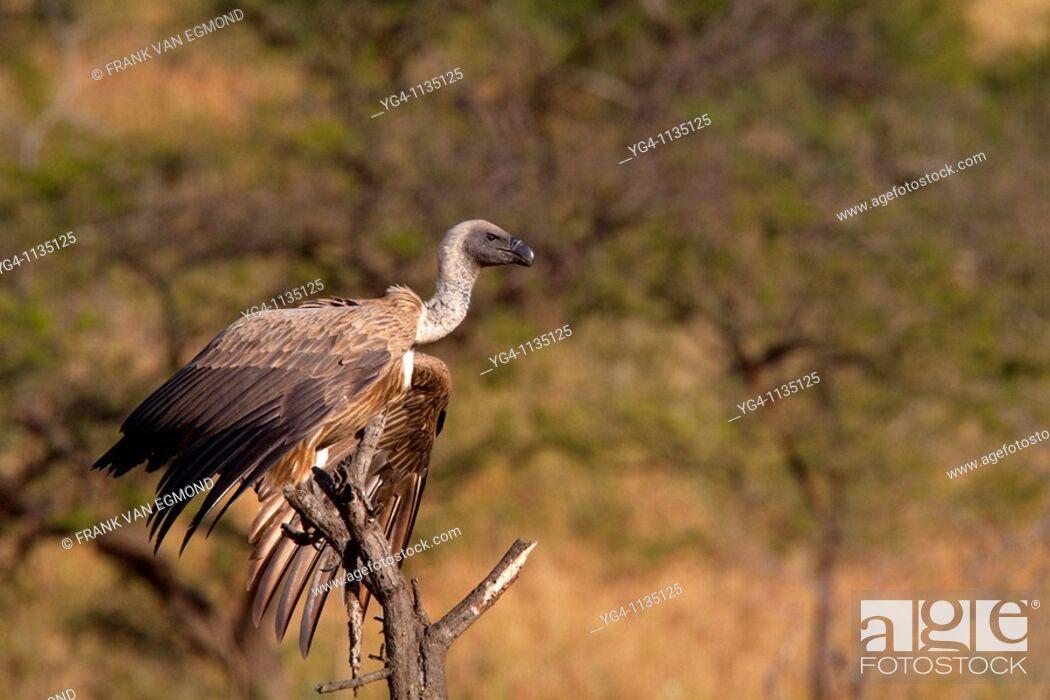 Stock Photo: White-backed vulture Gyps Africanus  Winter, May 2009  Hluhluwe-Imfolozi Game Reserve, Kwazulu Natal, South Africa.