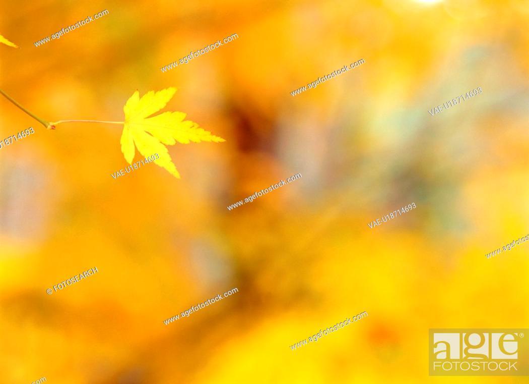 Stock Photo: tree, season, leaves, autumn, fall, maple, nature.