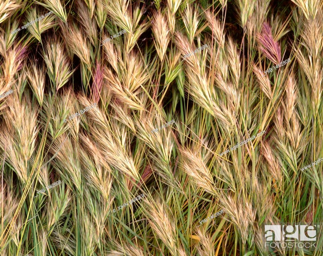 Stock Photo: Closeup of wild grass detail, Tonto National Forest, southeast Arizona, USA.