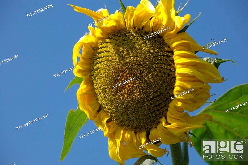 Stock Photo: buss, alexandra, brown, blue, bloom, agriculture.