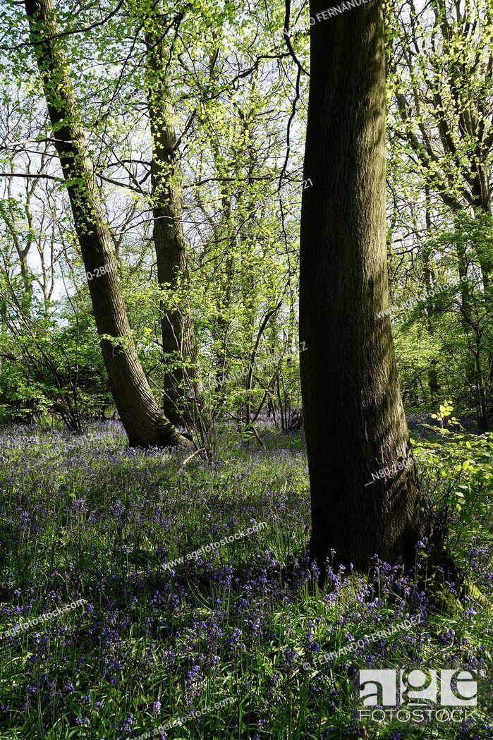 Stock Photo: Bluebells. Hatchlands Park. Surrey. England.
