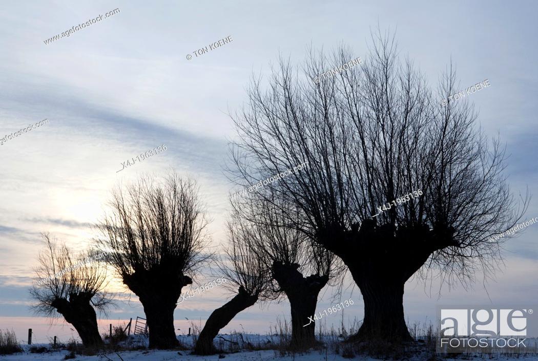 Stock Photo: willows in national park 'de biesbosch' in Holland.