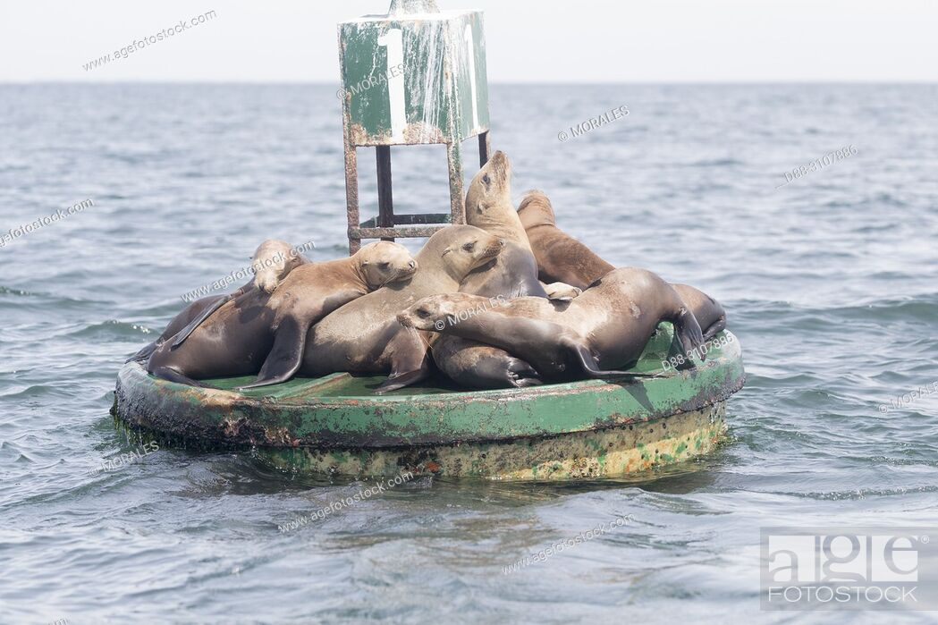 Stock Photo: Central America, Mexico, Baja California Sur, Guerrero Negro, Ojo de Liebre Lagoon (formerly known as Scammon's Lagoon), California sea lion ( Zalophus.