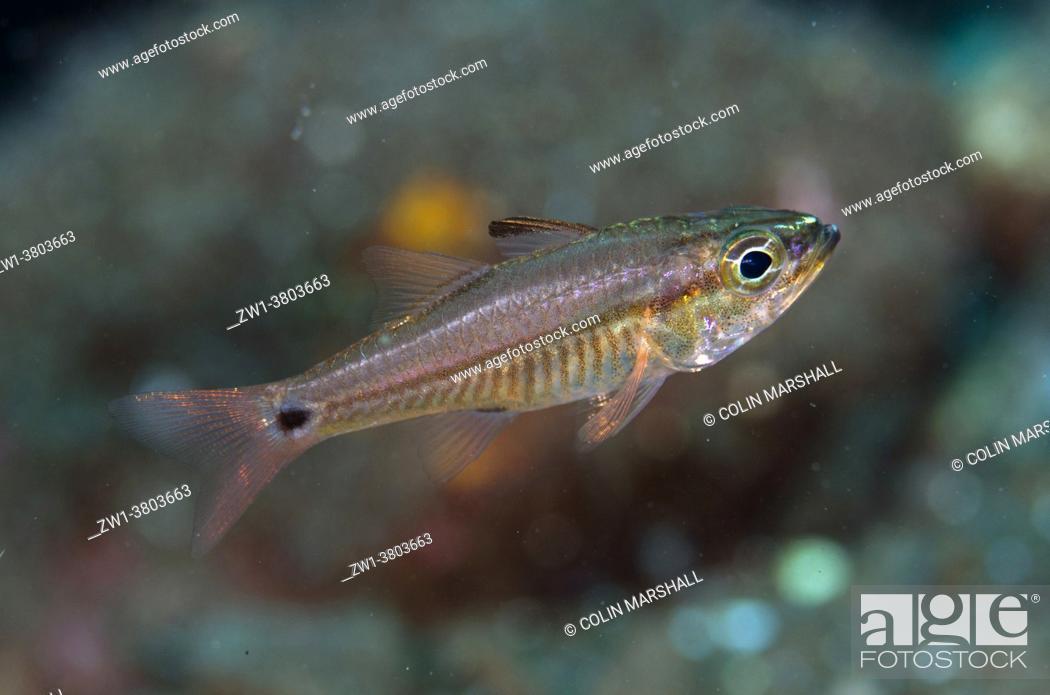 Stock Photo: Linespot Cardinalfish (Ostorhinchus lineomaculatus), Pong Pong dive site, Seraya, Karangasem, Bali, Indonesia.