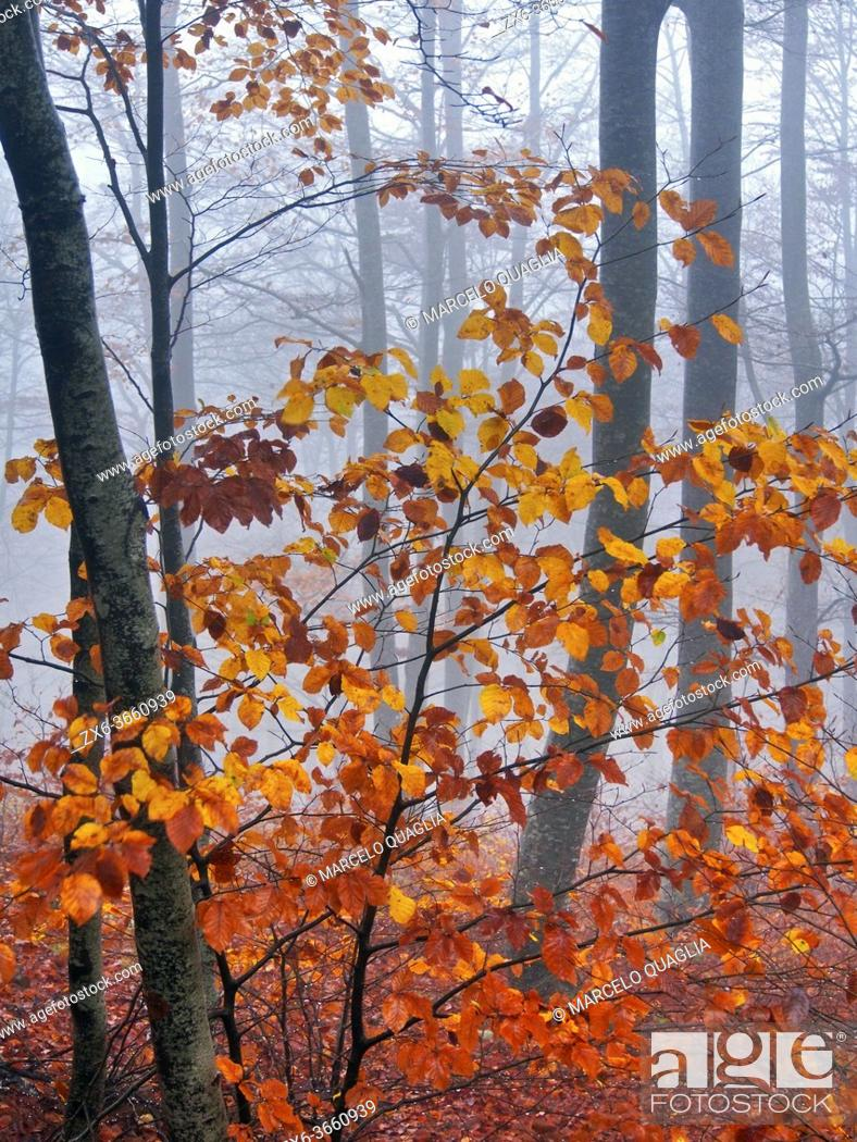 Stock Photo: Foggy autumn beech forest at Pla del Rovirol site. Montseny Natural Park. Barcelona province, Catalonia, Spain.