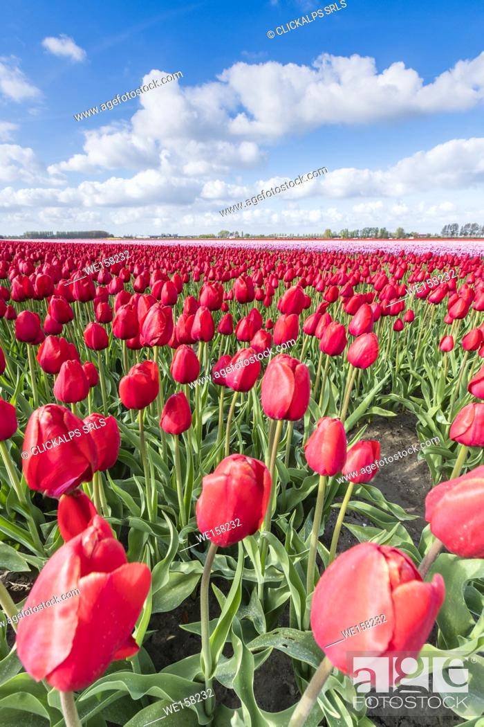 Photo de stock: Red tulips and clouds in the sky. Yersekendam, Zeeland province, Netherlands.