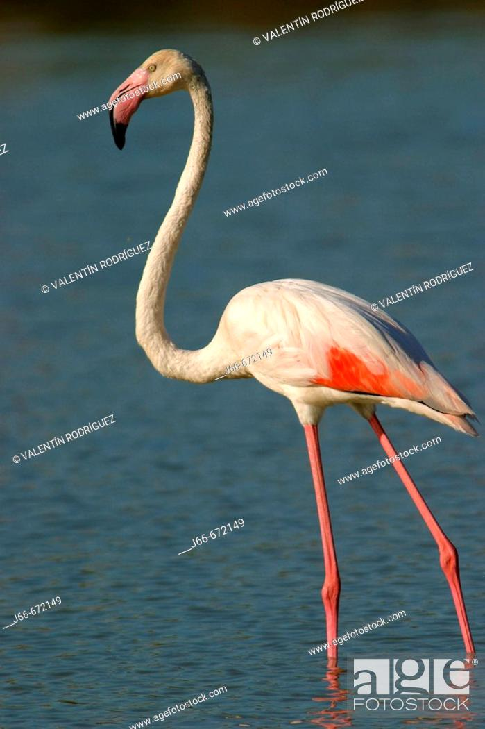 Stock Photo: Greater Flamingos (Phoenicopterus ruber roseus). Salinas de Calpe. Alicante Province. Spain.