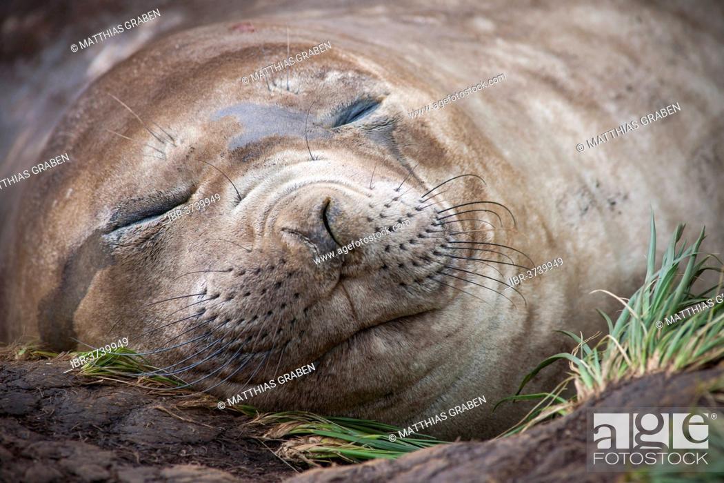 Stock Photo: Southern Elephant Seal (Mirounga leonina) female, asleep, Gold Harbour, South Georgia and the South Sandwich Islands, United Kingdom.