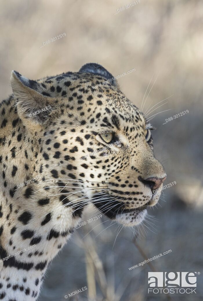 Photo de stock: Africa, Southern Africa, South African Republic, Mala Mala game reserve, savannah, African Leopard (Panthera pardus pardus), walking in the savannah.