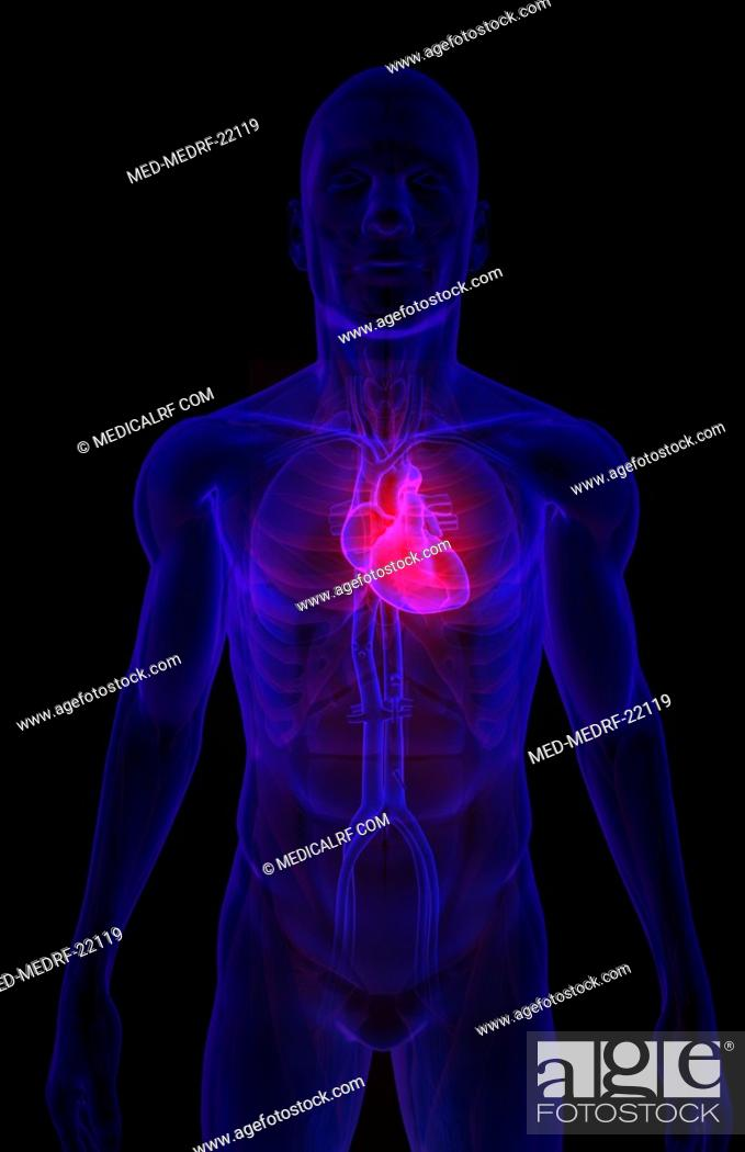 Stock Photo: The heart and major vessels.