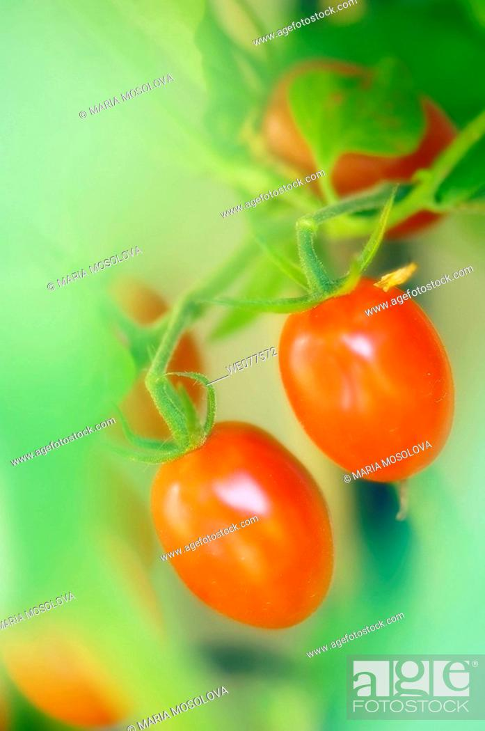 Stock Photo: Two Red Cherry Tomatoes. Solanum lycopersicon. July 2007, Maryland, USA.