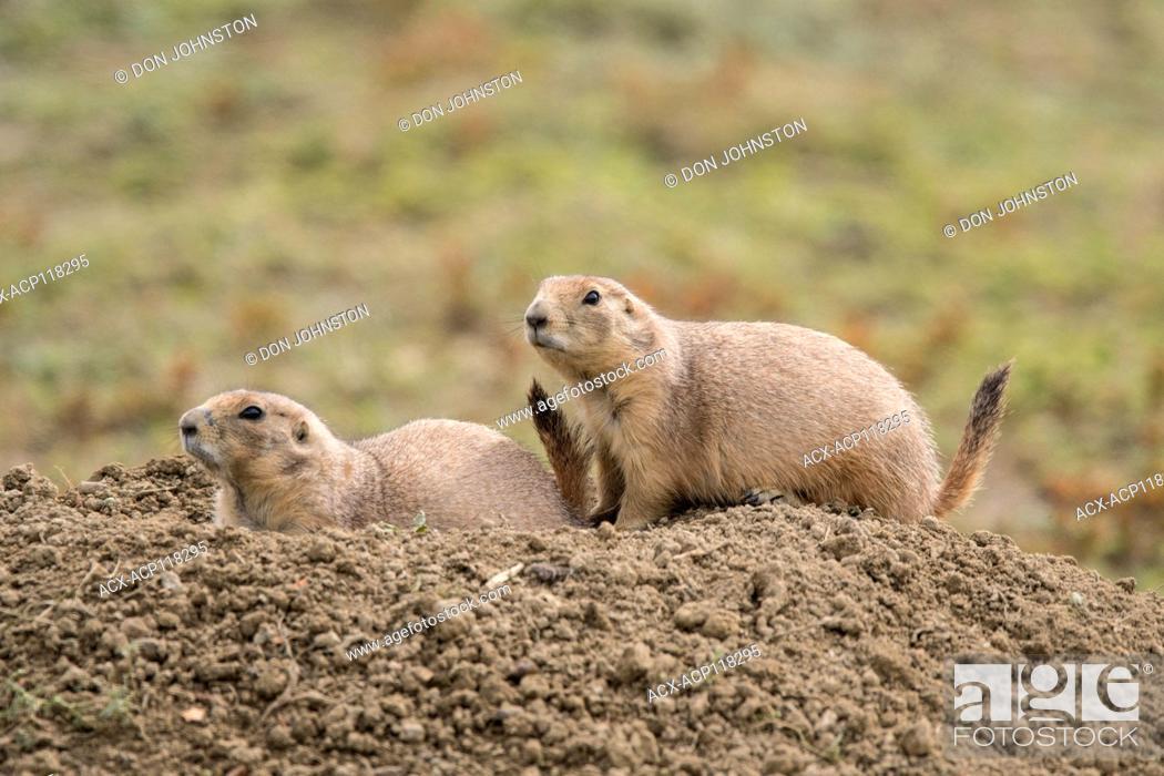 Stock Photo: Black-tailed prairie dog (Cynomys ludovicianus) Sentinels on guard, Theodore Roosevelt NP (South Unit), North Dakota, USA.