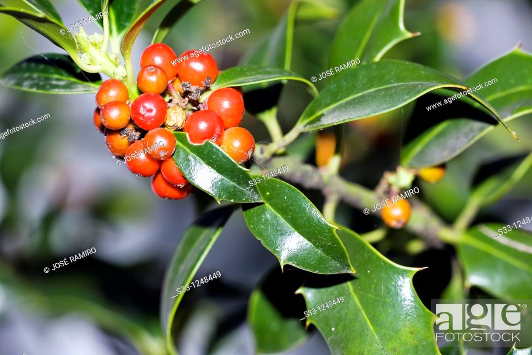 Stock Photo: Holly tree Ilex aquifolium.