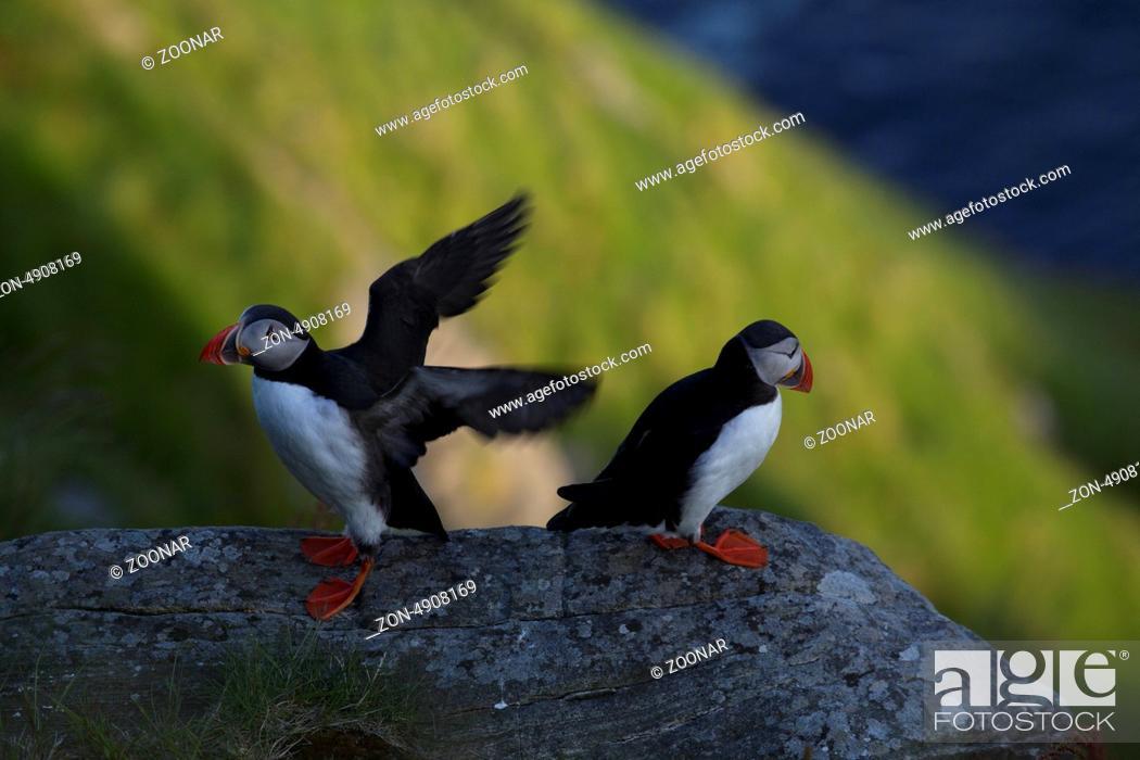 Stock Photo: Papageitaucher am Vogelfelsen.