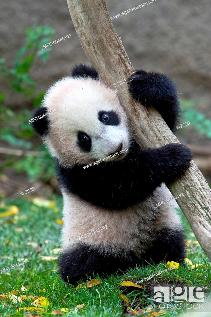Stock Photo: Giant Panda (Ailuropoda melanoleuca) cub, native to China.
