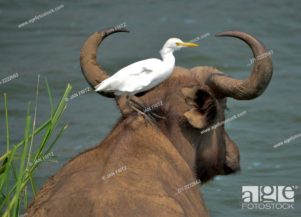 Stock Photo: buffalo with egret on his back in Uganda.