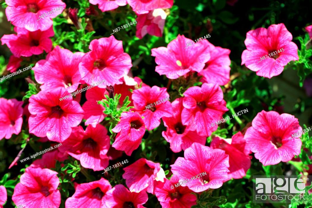 Stock Photo: Petunias.