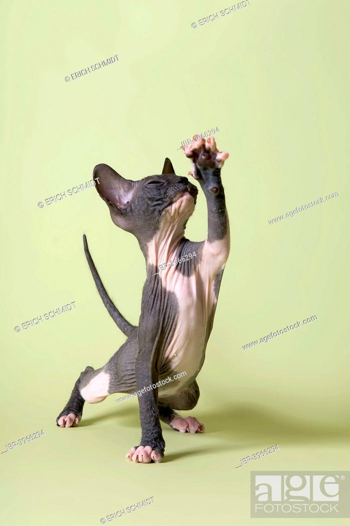 Donskoy Cat Or Don Sphynx Kitten With A Raised Paw Stock Photo Picture And Rights Managed Image Pic Ibr 3966294 Agefotostock
