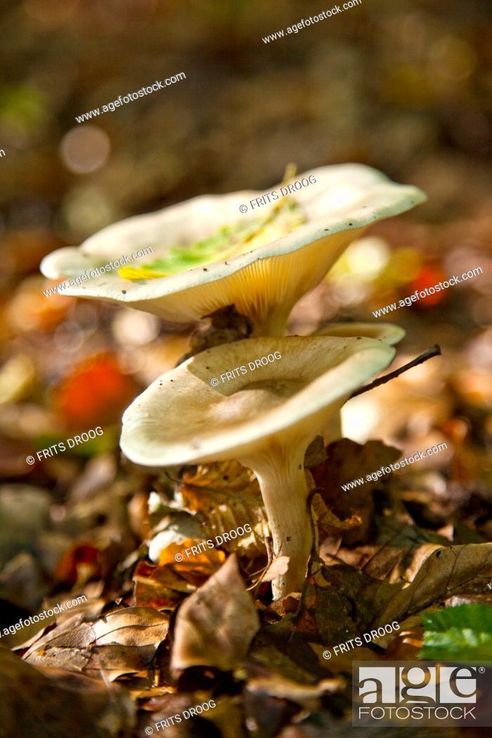 Stock Photo: toadstools in autumn, fungi.