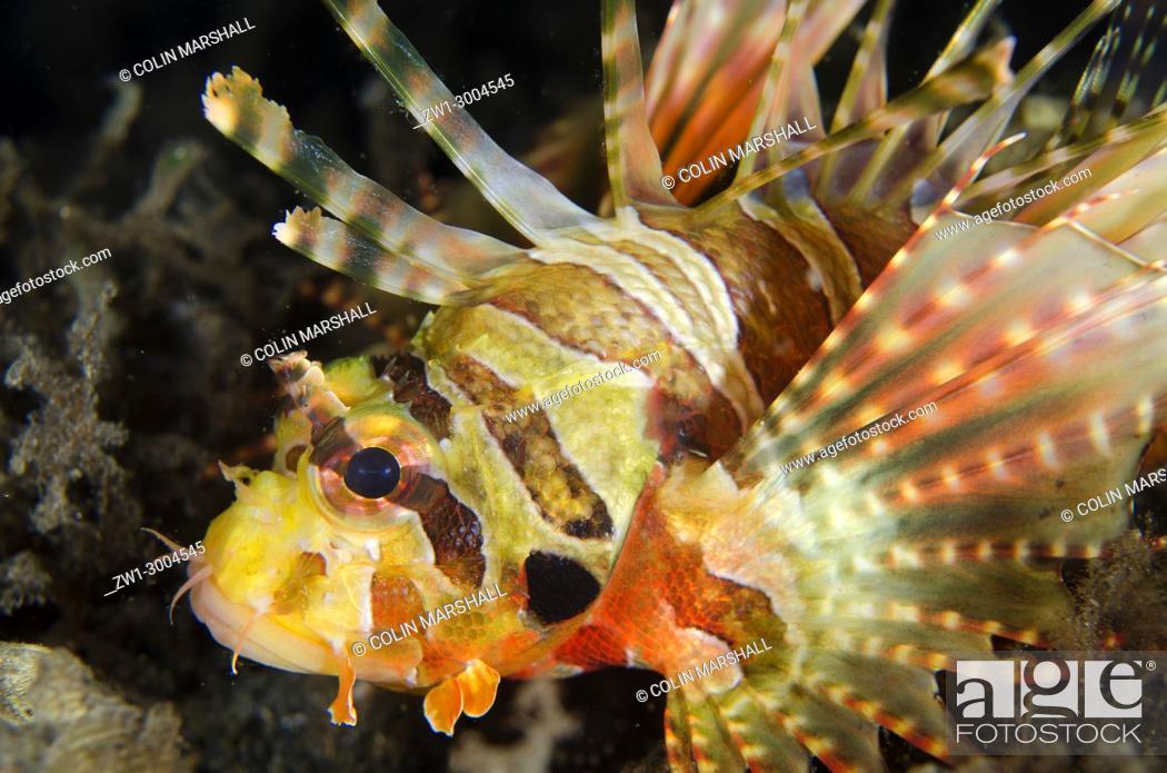 Stock Photo: Zebra Lionfish (Dendrochirus zebra), Night dive, TK1 dive site, Lembeh Straits, Sulawesi, Indonesia.