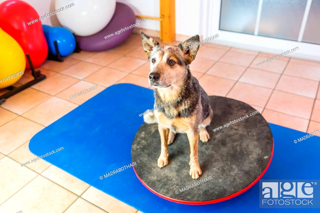 Stock Photo: Australian Cattledog sits on a wobble board in an animal physiotherapy office.