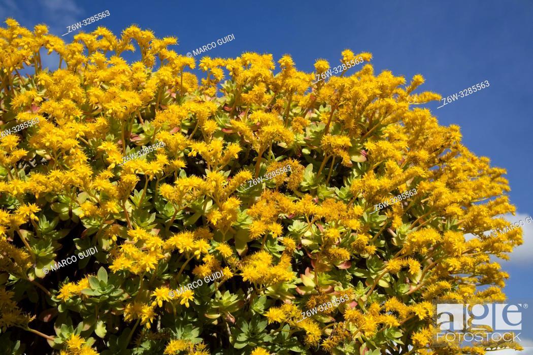 Imagen: Composition in full spring bloom of Sedum Palmeri yellow.